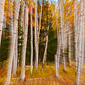 Abstract Autumn Birches by Brenda Jacobs