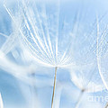 Abstract Dandelion Background by Anna Om