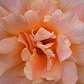 Abstract Peach Rose by Maria Urso