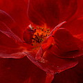 Abstract Red Rose 1a by Maria Urso