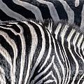 Abstract Zebra by Aleksandar Mijatovic