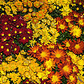 Abundance Of Yellows Reds And Oranges by Georgia Mizuleva