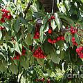 Abundant Cherries by Carol Groenen