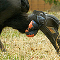 Abyssinian Ground Hornbill by Emmy Marie Vickers