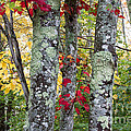 Acadia Autumn Trees by Chris Scroggins