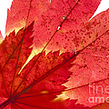 Acer From Beneath by Anne Gilbert
