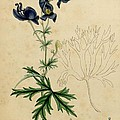 Aconitum Napellus By Sowerby by Philip Ralley
