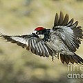 Acorn Woodpecker by Anthony Mercieca