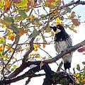 Acorn Woodpecker In Tree  In Park Sierra-ca by Ruth Hager