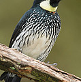 Acorn Woodpecker Melanerpes by Panoramic Images