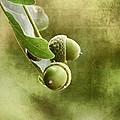 Acorns by Gynt