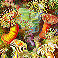 Actinia Sea Creatures by Unknown
