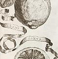 Adam's Apple by Cornelis Bloemaert