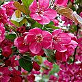 Adams Crabapple Blossoms by MTBobbins Photography