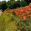 Adamsville Lilies 1 by Jim Cotton