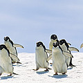 Adelie Penguin Group Running Antarctica by Konrad Wothe