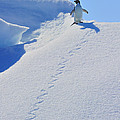 Adelie Penguin On Bergie Bit by Tony Beck