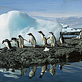 Adelie Penguins Coming Ashore Antarctica by Colin Monteath