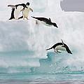 Adelie Penguins Diving Off Iceberg by Suzi Eszterhas