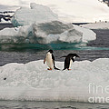 Adelie Penguins On Ice by John Shaw