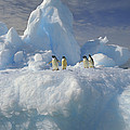 Adelie Penguins On Iceberg Antarctica by Colin Monteath