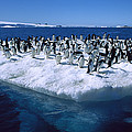 Adelie Penguins On Icefloe Antarctica by Colin Monteath