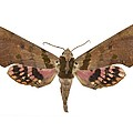 Adhemarius Gannascus Moth by Science Photo Library