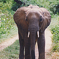 Adolescent Elephant by Belinda Greb
