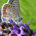 Adonis Blue Butterfly Of Monteriggioni by Jennie Breeze
