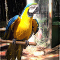Adopted Macaw - Rescued Parrot by Ella Kaye Dickey