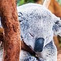 Adorable Koala Bear Taking A Nap Sleeping On A Tree by Alex Grichenko