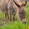 Adorable Mini-burro by Lynn Bauer