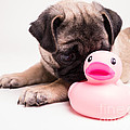 Adorable Pug Puppy With Pink Rubber Ducky by Edward Fielding
