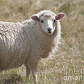 Adorable Sheep by Loriannah Hespe