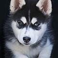 Adorable Siberian Husky Sled Dog Puppy by Kathy Clark