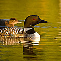 Adult And Chick Loon Pictures 2  by Loon  Images