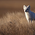 Adult Arctic Fox On The Tundra In Late by Steven J. Kazlowski / GHG