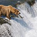 Adult Brown Bear Fishing For Salmon by Kenneth Whitten