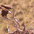Adult Eagle With Eaglet  by Jeff Swan