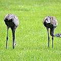 Adult Florida Sandhill Cranes Grus Canadensis Pratensis I Usa by Sally Rockefeller