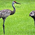 Adult Florida Sandhill Cranes Grus Canadensis Pratensis II Usa by Sally Rockefeller
