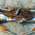 Adult Male Blue Crab by Millard H. Sharp