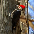 Adult Male Pileated Woodpecker by Bruce Nutting