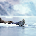 Adult Pacific Harbor Seals On An Ice by Steven J. Kazlowski / GHG