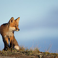 Adult Red Fox On The Tundra In Late by Steven J. Kazlowski / GHG