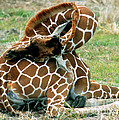 Adult Reticulated Giraffe by Millard H. Sharp