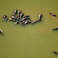 Aerial View Of Hippos In A Lake by Peter McBride