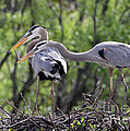 Affectionate Great Blue Heron Mates by Sabrina L Ryan