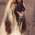 Afghan Hound Dog, Portrait by John Daniels