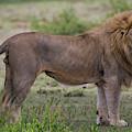 Africa Tanzania Male African Lion by Ralph H. Bendjebar